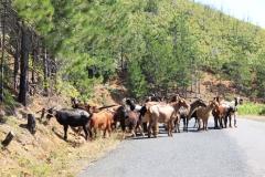40 - Albánske kozy, ktoré sa pasú absolútne všade