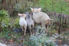 67 - V Gruzínsku sa domáce zvierata potuľujú všade